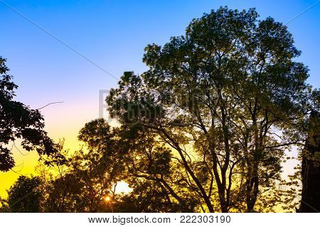 Silhouette of a large branchy tree with yellow green lush foliage in the rays of the orange sunset against the blue sky. Evening abstract landscape in Sochi, Russia.