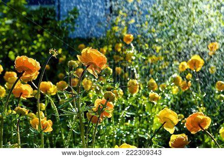 Trollius europaeus spring flowers in the rain,