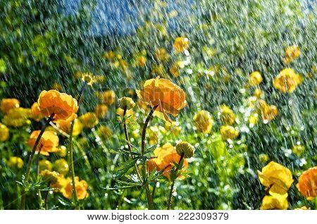 Trollius europaeus spring flowers in the rain.