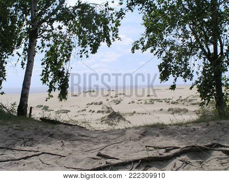 Birch trees on the dunes of the Curonian spit