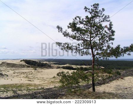 Pine on the dune of Curonian spit