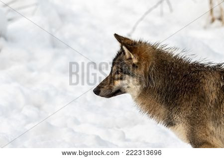 Gray wolf, Canis lupus, head in profile, looking left, with snow in the background. Captive animals in Dyreparken, Kristiansand, Norway poster
