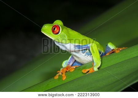 A red-eyed treefrog (Agalychnis callidryas) on a leaf at night in Tortuguero National Park, Costa Rica.