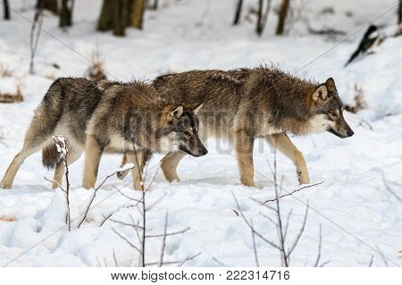 Two gray wolfs, Canis lupus, walking to the right, while sniffing on the ground. Snowy winter forest. Captive animals in Dyreparken, Kristiansand, Norway