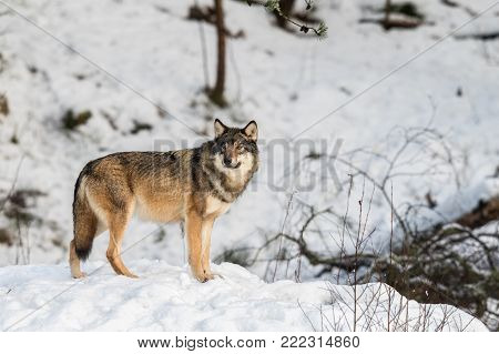 Grey wolf, Canis lupus, standing and looking towards cameraa, in a snowy winter forest. Also known as timber wolf or timberwolf. Captive animals in Dyreparken, Kristiansand, Norway