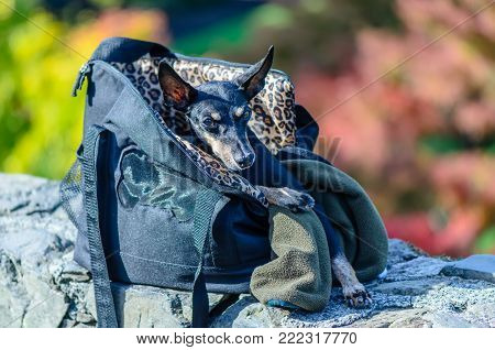 A small, black dog with long ears sits in a bag on a clear summer day. The green background is blurred.