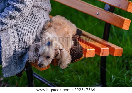 An animal, a dog, a white, shaggy lap dog lies on a wooden bench near the hostess in a gray knitted sweater