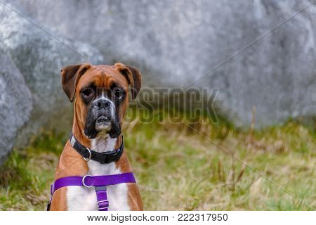An animal sits, a thoroughbred red dog with a black collar and a blue leash, a green grass and a gray wall in the background