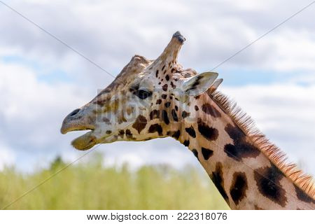 The longest animal, a giraffe stands with open jaws against a background of green grass and blue sky