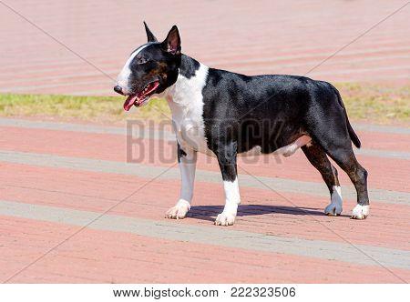 Bull Terrier black and white in profile. Bull Terrier black and white is on the park.