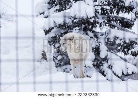 white wolf dog standing in snow in his cage at a zoo in Hokkaido, Japan, good for theme such as lonliness or animal related