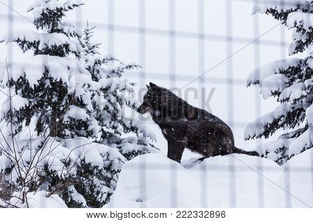 Black wolf dog sitting in snow in his cage at a zoo in Hokkaido, Japan, good for theme such as lonliness or animal related