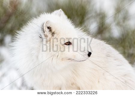 Arctic fox with winter fur, looking to the right, close- up with snow and bushes in the background. Captive animal. Male.