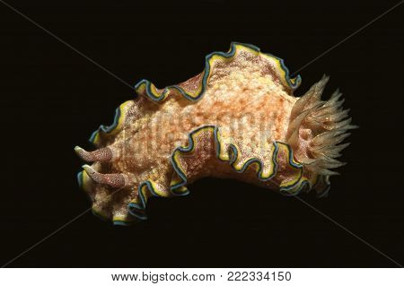 Nudibranch Underwater Sea Slug Invertebrate in Tropical Water