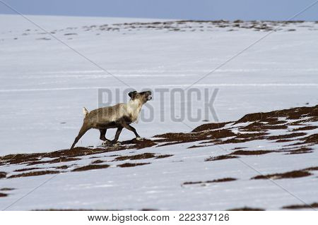 reindeer running along the slope of the hills in the tundra on a springy overcast day