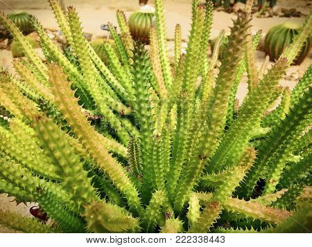 Long Green Spiky Thorn Desert Plant Bush