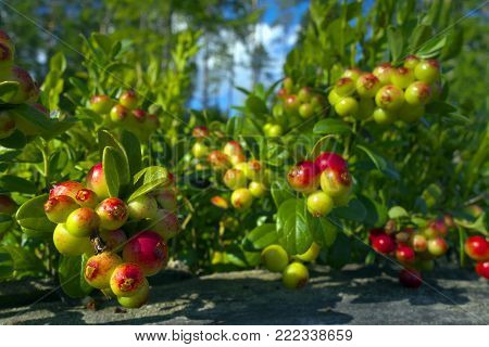 Ripening foxberries in raised bog forest in late summer.