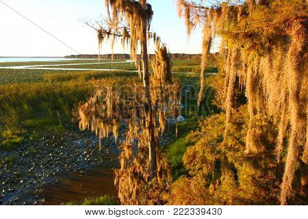 Spanish Moss Sways In The Wind In A Swamp Of Central Florida