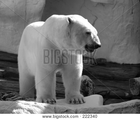 Powerful Polar Bear