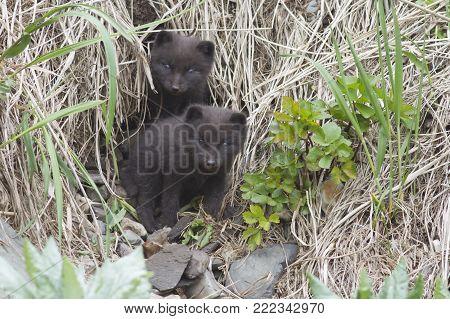 two Commanders blue arctic fox puppies that look out of the hole in the coastal cliff