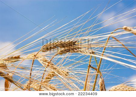 Cereals Against The Sky