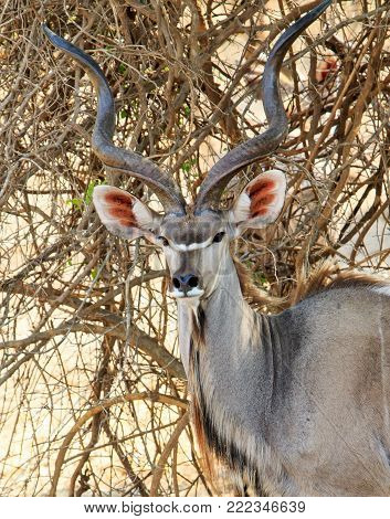 Portrait view of a large Greater Kudu (Tragelaphus strepsiceros) Buck with large horns standing in the bush in South Luangwa National Park, Zambia, Southern Africa