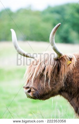 Closeup portrait of beautiful highland scottish hairy red cow with big horns. Profile view. Glasgow, Uk, Scotland. Colored outdoor summertime vertical image.