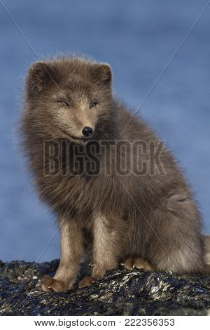 Commanders blue arctic fox that sits on a reef slab at low tide on the seashore in the winter