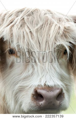 Closeup portrait of beautiful highland scottish hairy creamy cow looking in to camera. Glasgow, Uk, Scotland. Colored outdoor summertime vertical image.