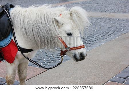 Pony Animal in Harness on City Street. Pony is a Small Horse, Often Used for Rides. Close Up Image of Cute White Pony with Small Ponytail. poster