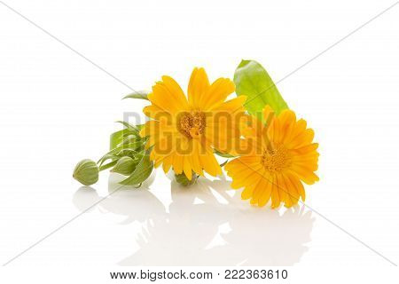 Healthy Calendula Medical Plant Isolated On White Background. Herbal Remedy. Calendula Officinalis.