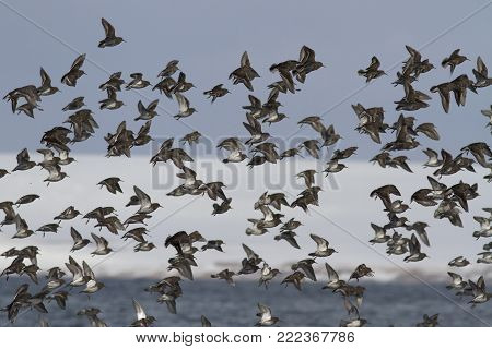 large pack of ROCK SANDPIPER flying against a background of snow-covered hills along the sea shore