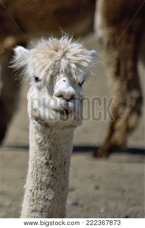 White alpaca with crazy hair looks inquisitively at photographer