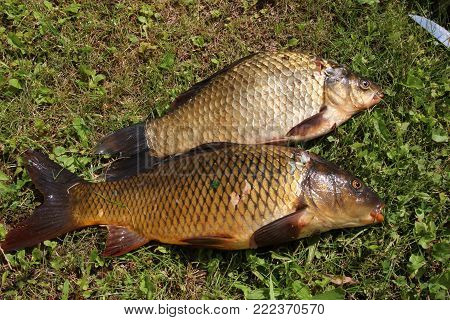 Fish caught carp lying on the grass