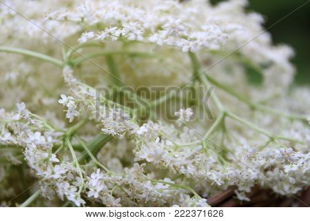 White Elderberry flower macro with a green background