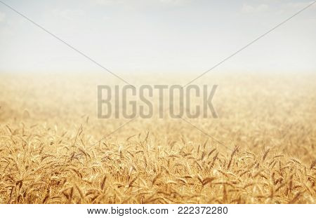 Wheat field. Ears of golden wheat close up. Rural Scenery under Shining sunset. close-up . Background of ripening ears of meadow wheat field.