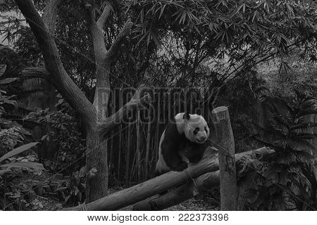 Hungry giant panda bear eating bamboo and seating on the branch, monochrome background