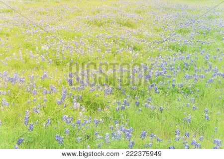 Close-up Top View Bluebonnet Blanket In Ennis, Texas, Usa At Springtime