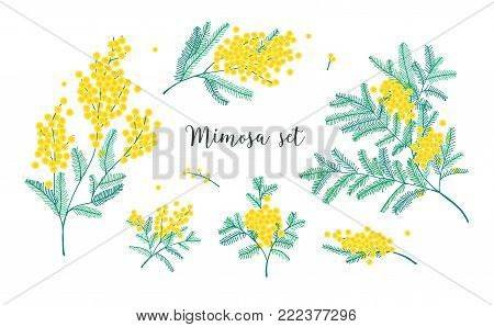 Set of beautiful yellow mimosa flowers or inflorescences and leaves isolated on white background. Bundle of parts of gorgeous spring flowering plant. Elegant floral decorations. Vector illustration