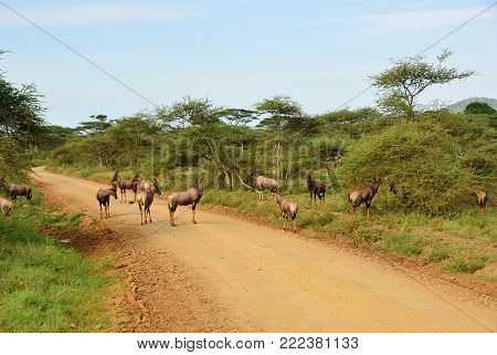 Herd of antelopes Topi on the dirt road in the Serengeti national park at morning. Tanzania, Africa