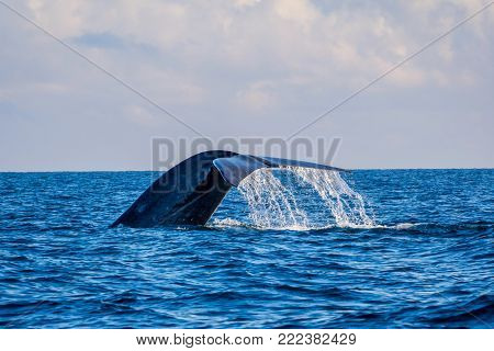 Blue Whales In The Ocean
