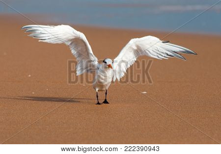 Royal tern stretches its wings on a sandy beach.