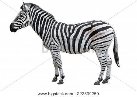 Young beautiful zebra isolated on white background. Zebra close up. Zebra cutout full length.