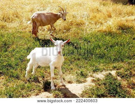 Cute goat.Domestic goats on a sunny day in the meadow .