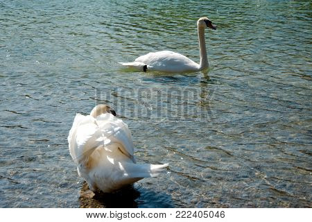 One swan swiming and one swan pruning itself