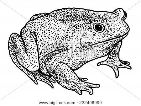 Cane toad illustration, drawing, engraving, ink, line art