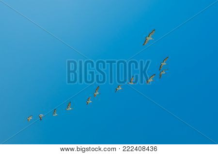 Group of pelicans flying in formation against the blue sky over Penguin Island, Rockingham, near Perth, Western Australia. Penguin Island is home to the largest bird colony of the WA. Copy space.