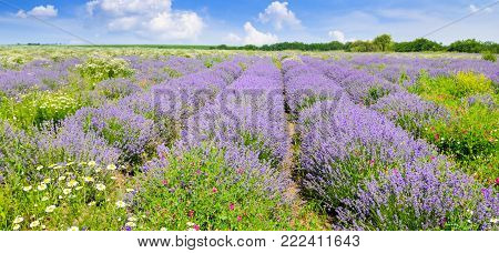 Blooming lavender in a field on a background of blue sky. Shallow depth of field. Focus on the foreground. Agricultural landscape. Wide photo.