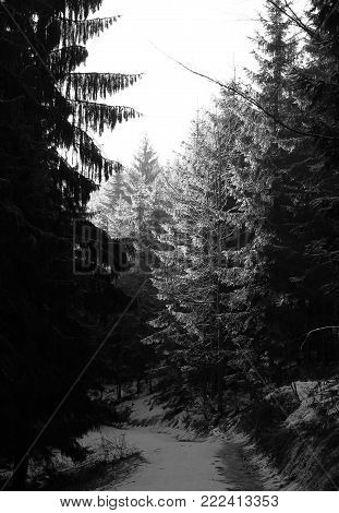 spruce forest in winter with dark trees on the margins and enlightened ones in the middle in black and white