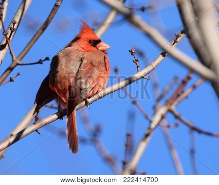 A male Northern Cardinal (Cardinalis cardinalis)  sits on a bare branch, looking to its right against a clear blue sky in Union Bridge, Carroll County, Maryland, USA.